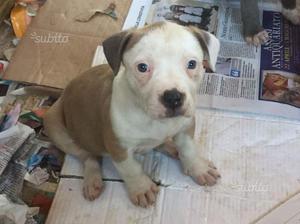 American bully cucciola 4 mesi
