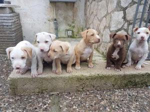 American pitbull terrier con pedigree