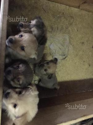 Cani di razza di piccola taglia in regalo