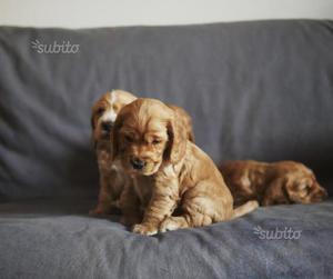 Cocker Spaniel Inglese - Cuccioli