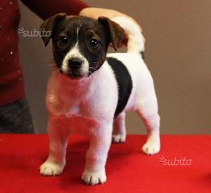 Cucciola Jack Russell Terrier