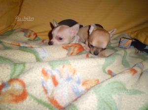 Cuccioli chihuahua maschi e femmine