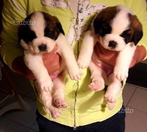 Cuccioli di cane San Bernardo