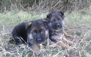 Cuccioli pastore tedesco disponibili