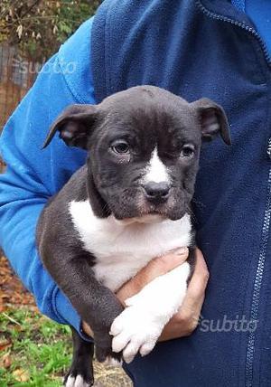 Cucciolo Pitbull ukc