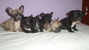 Disponibili cuccioli di bull dog francese