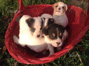 Jack Russell cuccioli