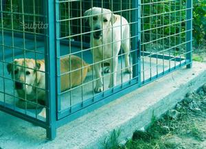 Labrador femmina con pedigree in regalo
