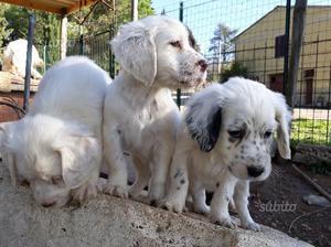Numero 6 Cuccioli di Setter Inglese