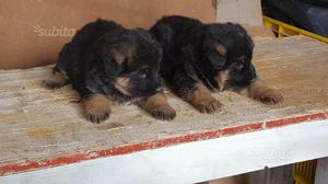 Pastore tedesco cuccioli con Pedigree x Natale