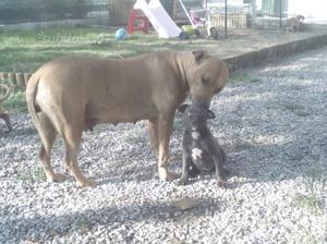 Regalo cuccioli di amstaff