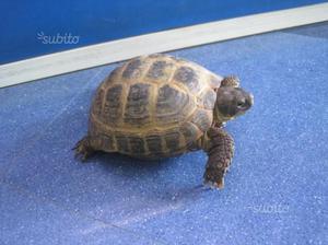 Tartaruga testudo horsfieldi cm con cites posot class for Tartaruga di terra maschio o femmina
