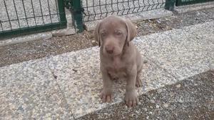 Weimaraner cuccioli pedigree natale