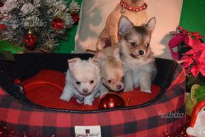 cuccioli chihuahua pura razza a pelo lung