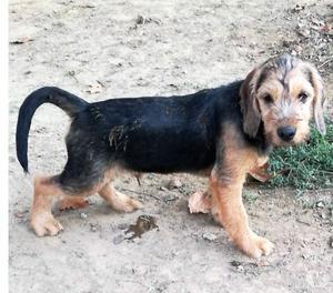 Asterix, cane 6 mesi, taglia media contenuta.