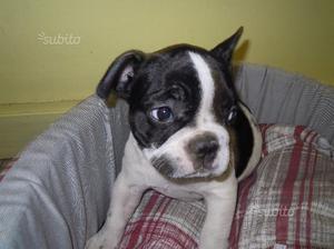 Bulldog francese bianco e nero