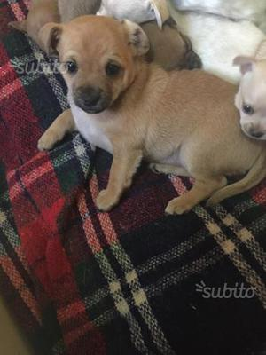 Chihuahua Cucciola Femmina