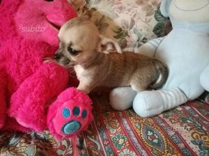 Chihuahua femmina pelo corto