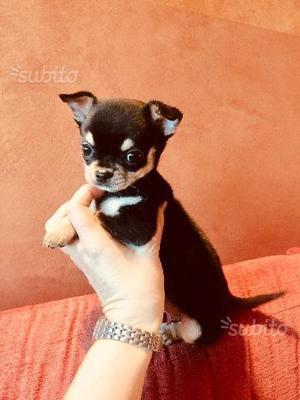 Chihuahua mini mini toy splendidi