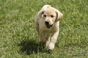 Cucciola di Labrador