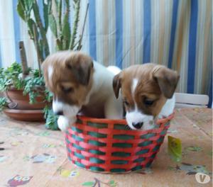 Cuccioli di Jack Russell terrier di altissima genealogia