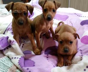Cuccioli di Pincher