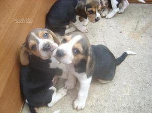 Cuccioli di beagle elisabeth di taglia nana