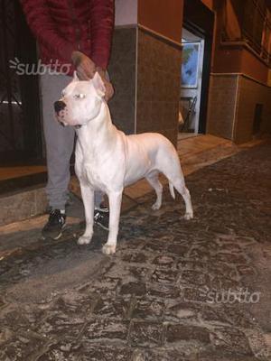 Cuccioli dogo argentino prezzo interessante