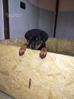 Cucciolo di ROTTWEILER con pedigree