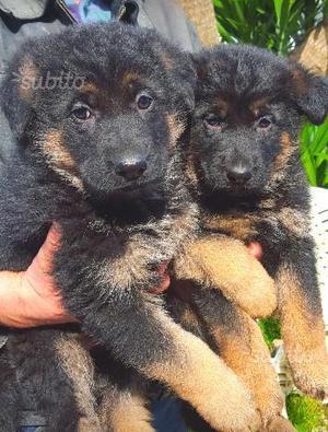 Pastore tedesco cuccioli con pedigree Enci