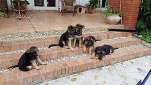 Pastore tedesco:cuccioli di 3 mesi con pedigree