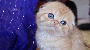Show cucciolo Scottish fold di rarissimo colore