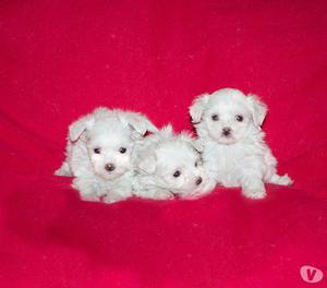 Maltese con pedigree, cuccioli di taglia molto piccola
