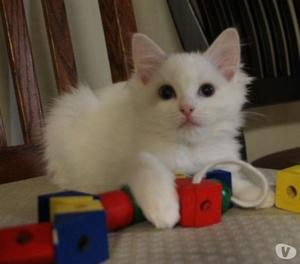 Adorabili gattini siamesi