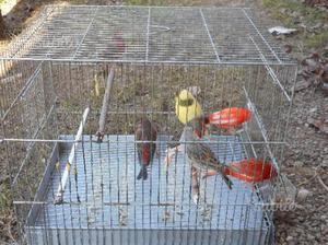 Canarini e ibridi vari colori