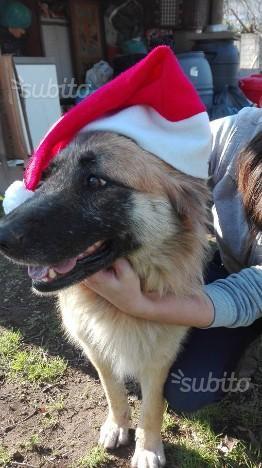 Cane femmina simil pastore tedesco 4 anni taglia m