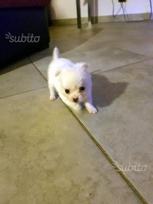 Chihuahua a pelo lungo femmina