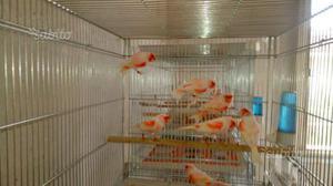 Coppie canarini rosso mosaico foi