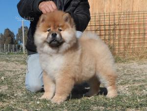 Cucciola di chow chow pedigree