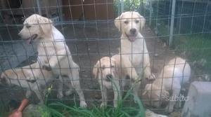 Cuccioli Labrador miele