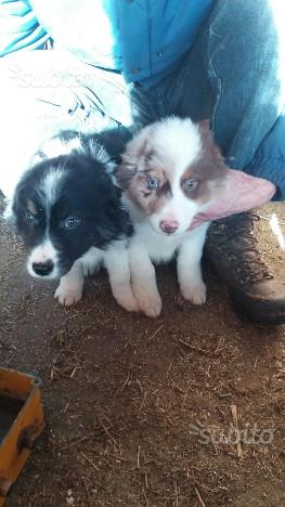 Cuccioli di pastore australiano