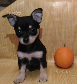 Cucciolo di Pinscher Chihuahua