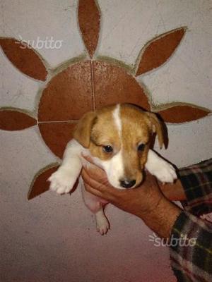 Jack russell terrier cuccioli pronta consegna
