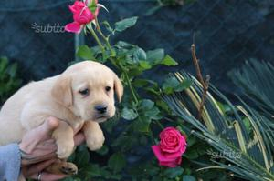 Labrador retriever pedigree enci