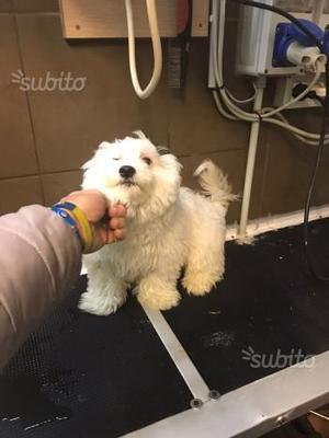 Maltese maschio di 4 mesi