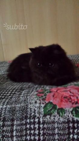 Persiani cucciolo femmina persiana persiani