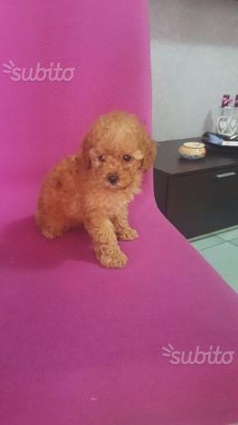 Barboncino toy red e albicocca con pedigree