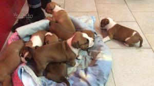 Cuccioli di amstaff con pedigree
