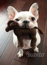 Cuccioli di bull dog francese
