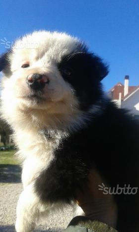 Cucciolo border collie musetto mezzo bianco